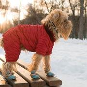 Cagnolino con cappotto e scarpe