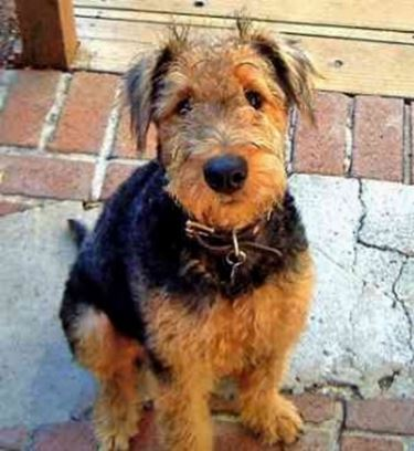 foto airedale terrier