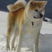 foto akita inu