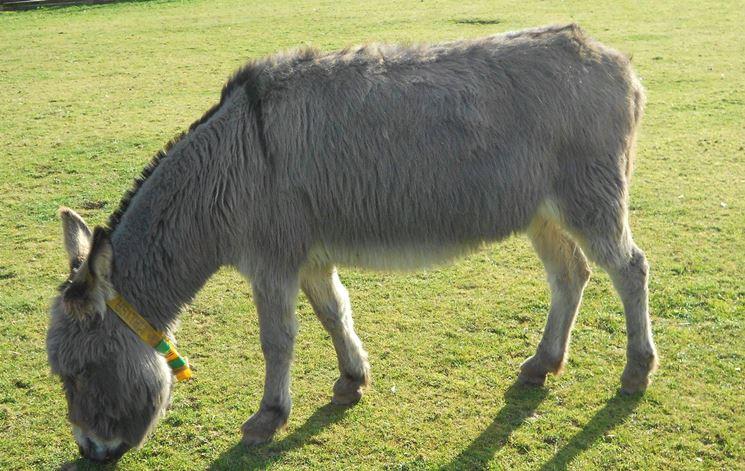 Piccolo esemplare di asino sardo