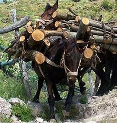 Mulo asini caratteristiche del mulo for Asino e cavalla