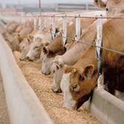 Alimentazione bovina