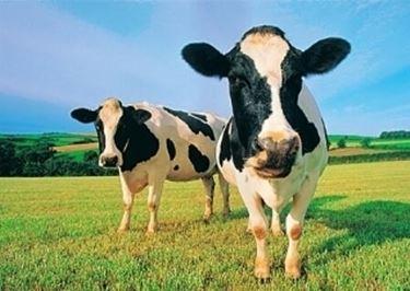 Classificazione bovini