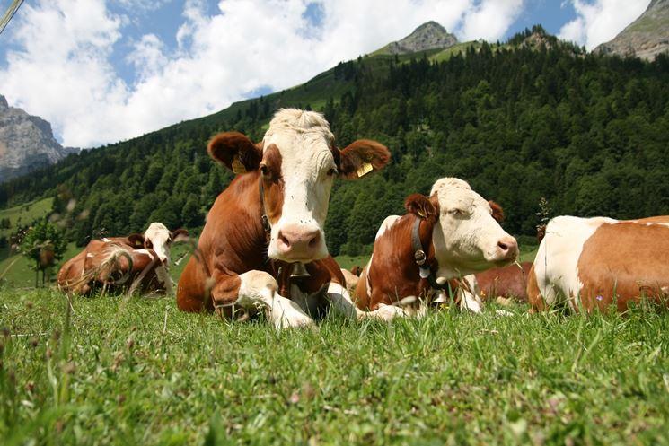 Pascolo di bovini in montagna
