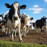 Mandria di mucche all'aperto