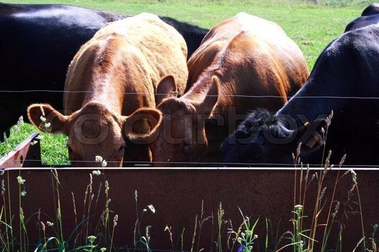 Esempio di mucche che bevono negli abbeveratoi al pascolo.