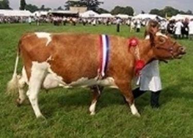 Vacca Ayrshire