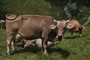 Vacca bruna alpina