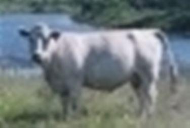 Vacca Charolais