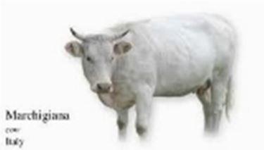 Vacca Marchigiana