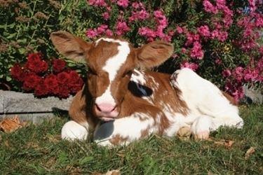 Vacca Pezzata Rossa
