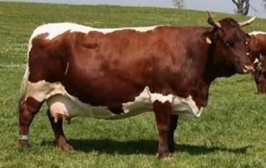 Vacca Pinzgauer