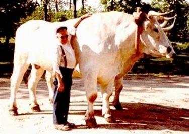 Vacche Chianine