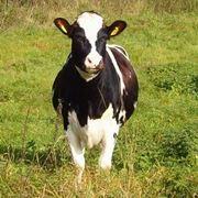 quanto pesa una mucca