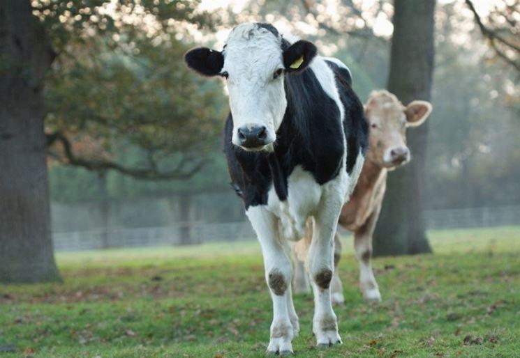 Vacche frisone