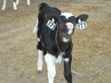 Vitelli da latte