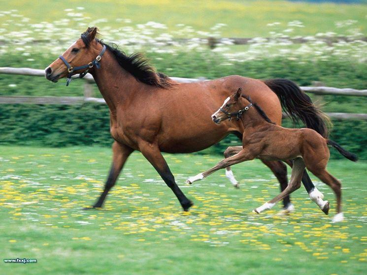allevamenti cavalli