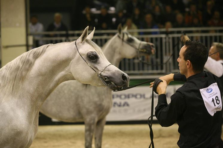 Cavallo arabo egiziano