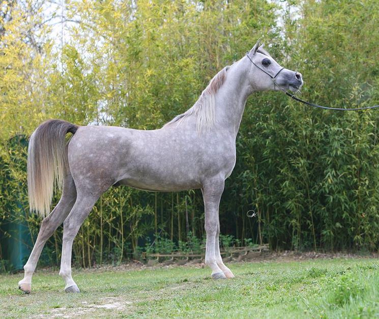 Risultati immagini per arabo grigio