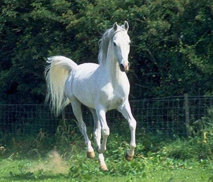Cavallo arabo grigio