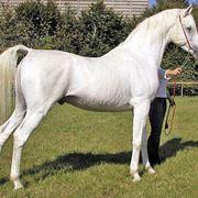 cavallo arabo prezzo