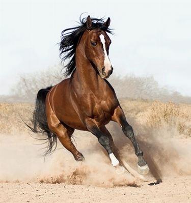Cavallo Arabo in corsa