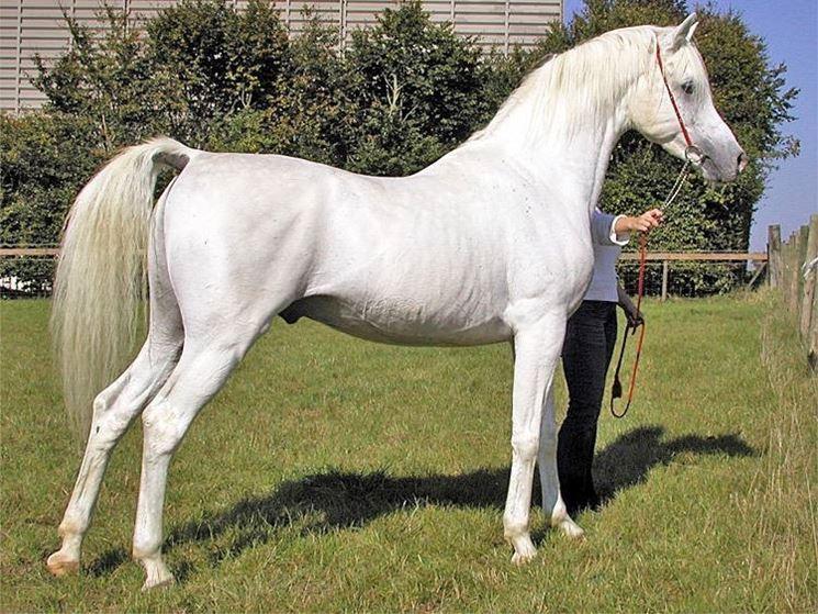 arabo bianco