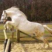 cavalli spagnoli