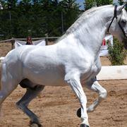 Tutta l'imponenza del cavallo spagnolo