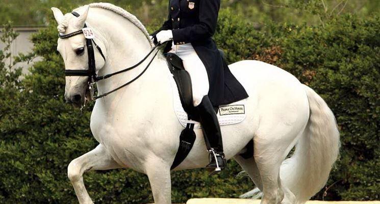 Splendido esemplare di cavallo spagnolo