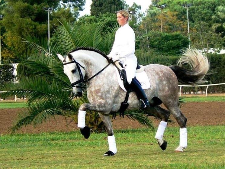 Cavallo spagnolo impiegato nel dressage