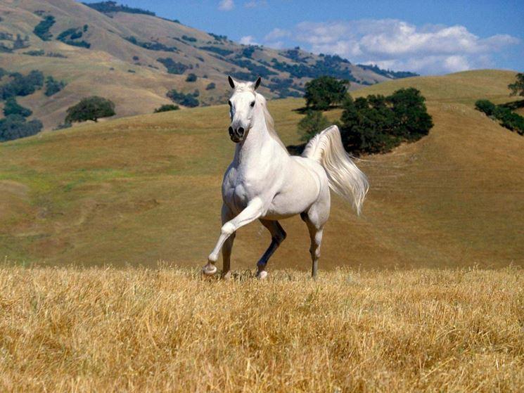 cerco cavalli