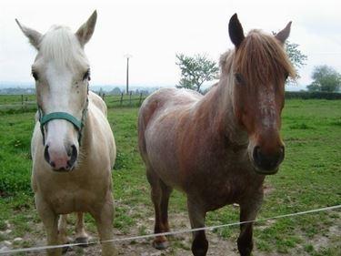 Cavalli Charolais