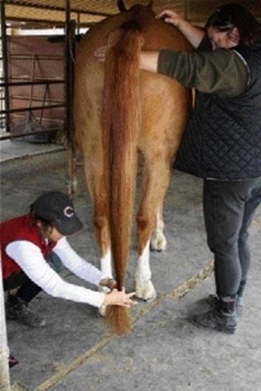 Coda cavallo