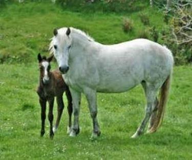 Connemara baby