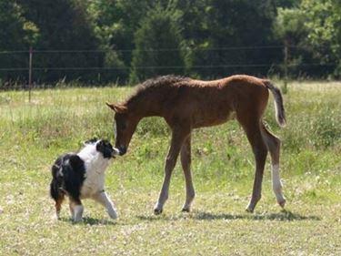 Cucciolo di Holstein