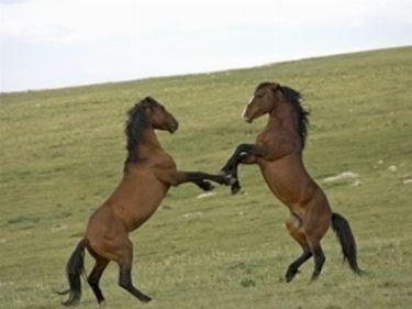 Stalloni Mustang in lotta
