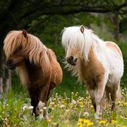 Coppia di pony