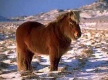 Pony islandese