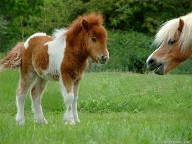Cucciolo di pony