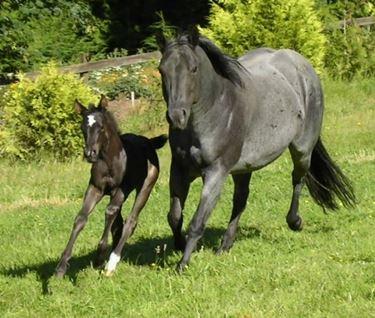 Puledro di Quarter Horse