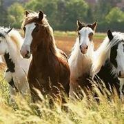 Razze cavalli in libertà