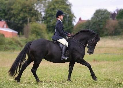 Welsh Cavalli