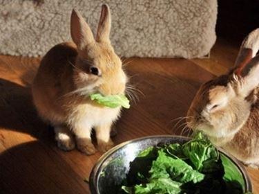 Alimentazione conigli