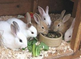 Allevamento conigli