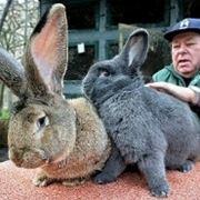 Conigli giganti