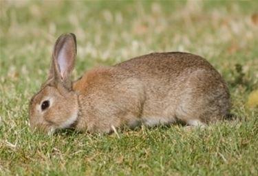 Conigli selvatici
