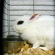 coniglio ermellino