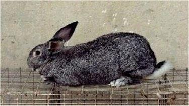 coniglio grigio di carmagnola