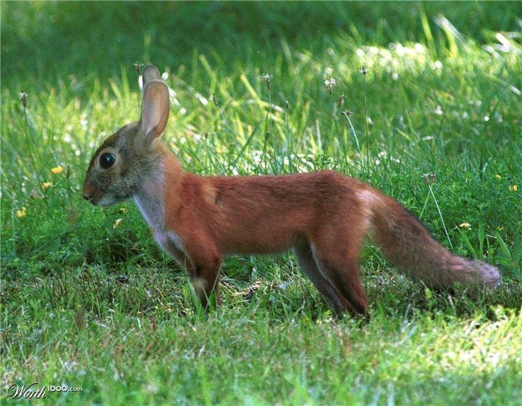 coniglio volpe